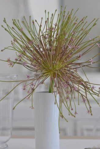 Allium_Schubertii_fresco