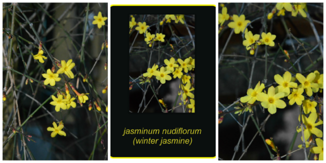 3jasminum nudiflorum