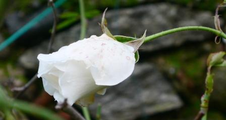 Aspirine RoseT