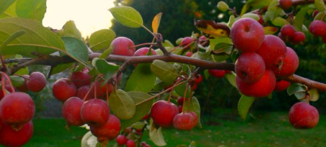 Malus evereste1