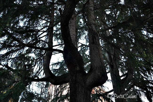 20140124_cedro_del_libano.DSC_0012