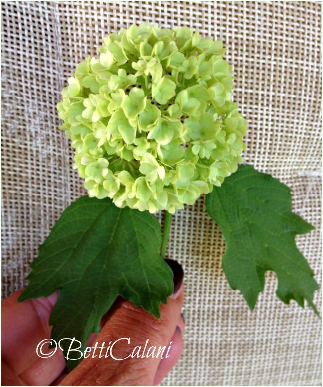 viburnum opulus_fiore