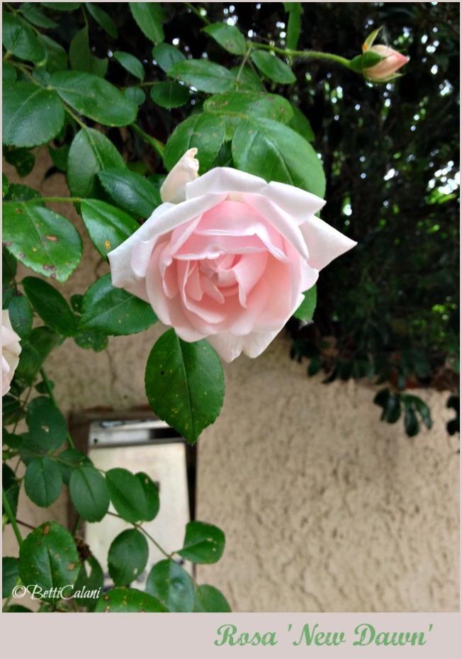2014_rosa new dawn (2)A