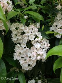 Kalmia latifolia_3