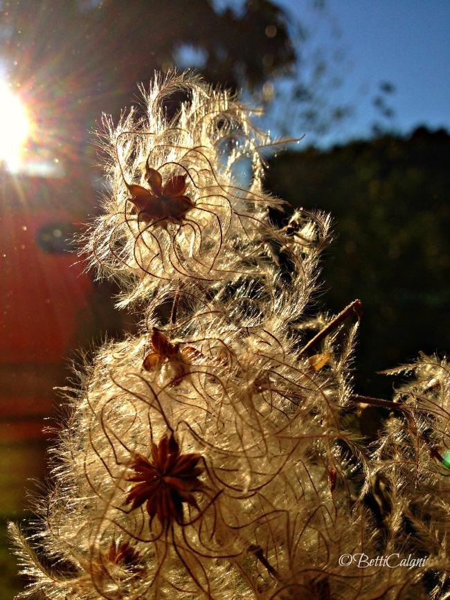20141023_fiori_clematis_vita_lba (2)