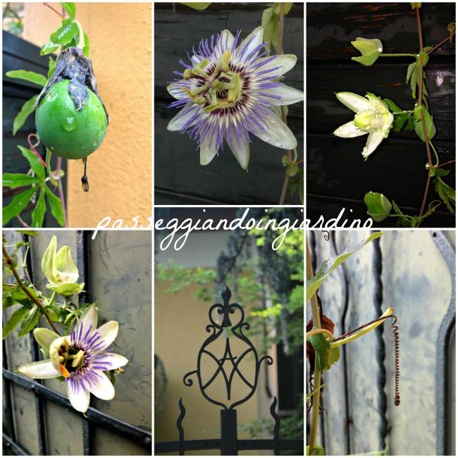 passiflora caerulea_questa