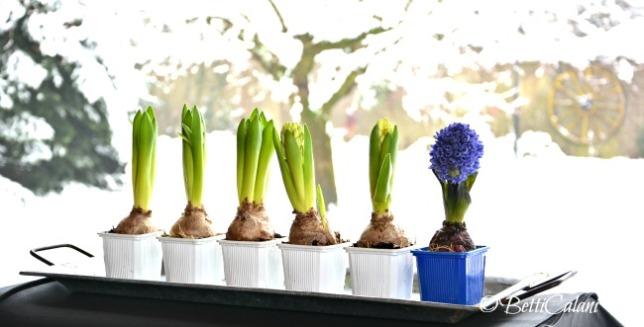 20150206_bulbi di giacinto