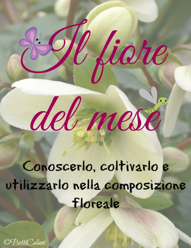 elleboro_il fiore_del_mese