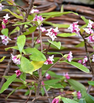 fiori di Daphne