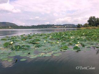 lago di Comabbio - fior di loto