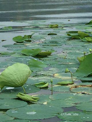 lago di Comabbio - fiori di loto