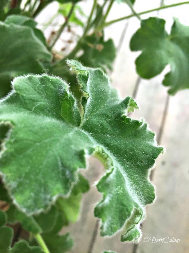 20150719_pelargonium_tomentosum (1)