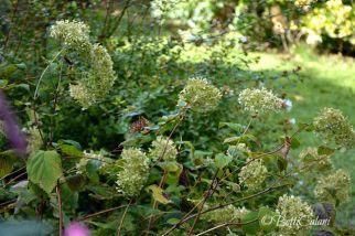 Hydrangea arborescens Invincibelle Spirit - dopo