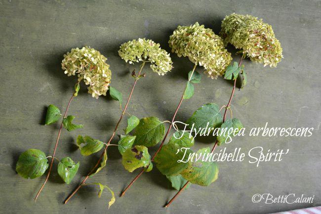 20150817_Hydrangea_arborescens_Invincibelle_Spirit (8)A