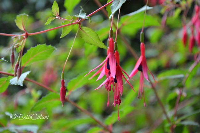 20140701_Pombia_fuchsia_magellanica (2)A