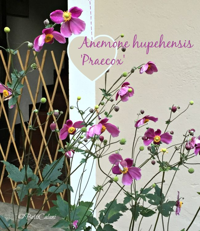 anemone_hupensis_praecox (2)