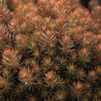 sedum hakonense chocolate ball 1