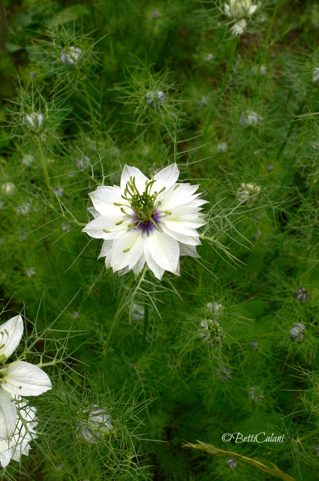 nigella_damascena
