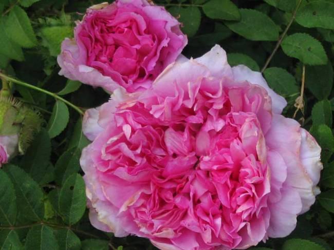 Rosa Roxburghii 'Alba Plena'