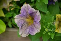 Petunia 'Sweetunia Purple Vein'