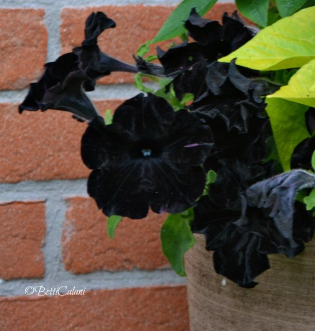 Petunia Sweetunia black satin,