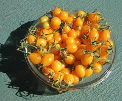 pomodoro 'corsa all'oro'