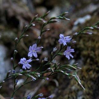 limonium todaroanum http://cambriasalvatore.wix.com/florasicilia2#!limonium-toadoranum/c1xui