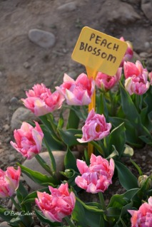 20170330_tulipani_italiani (17)