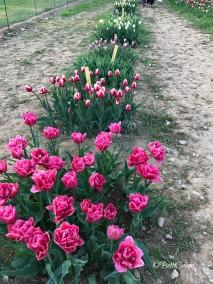 20170330_tulipani_italiani (5)