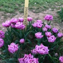 20170330_tulipani_italiani (7)
