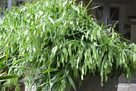 Fatto!!! chasmanthium_ latifolium