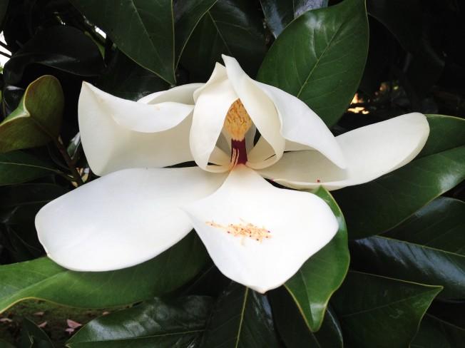 Decorazioni Natalizie Con Foglie Di Magnolia.Foglie Di Magnolia Grandiflora Passeggiandoingiardino