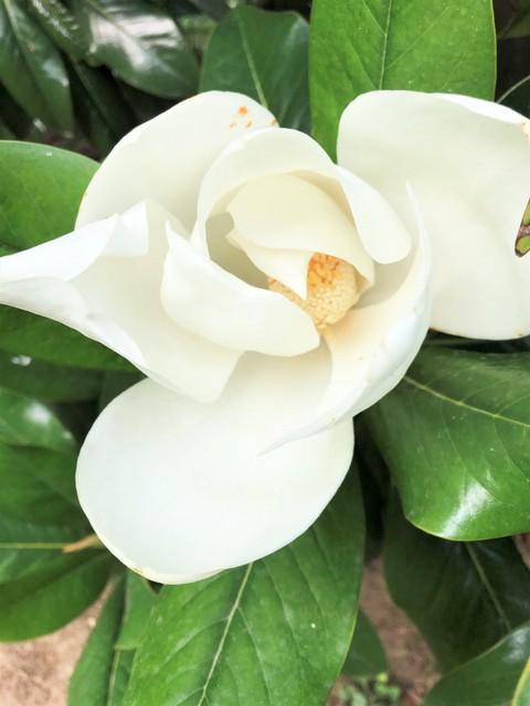 Decorazioni Natalizie Con Foglie Di Magnolia.Incredibile Il Mio Nome Scritto Sul Petalo Del Fiore Della