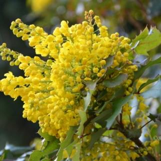 Mahonia Aquifolium_2