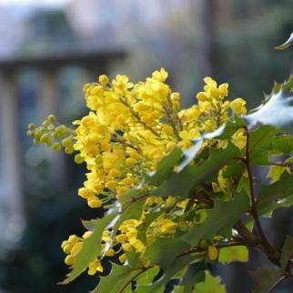 Mahonia Aquifolium_1