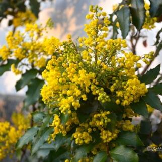 Mahonia Aquifolium_4