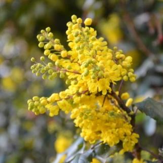 Mahonia Aquifolium_3